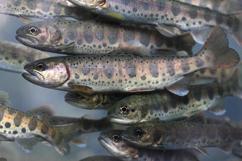 Кеты и симы стало больше в реке Зеркальной Кавалеровского района