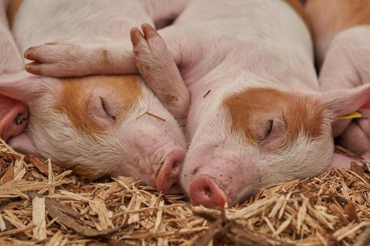 Африканская чума свиней вновь обнаружена в Приморье (данные на 09.04.2021)