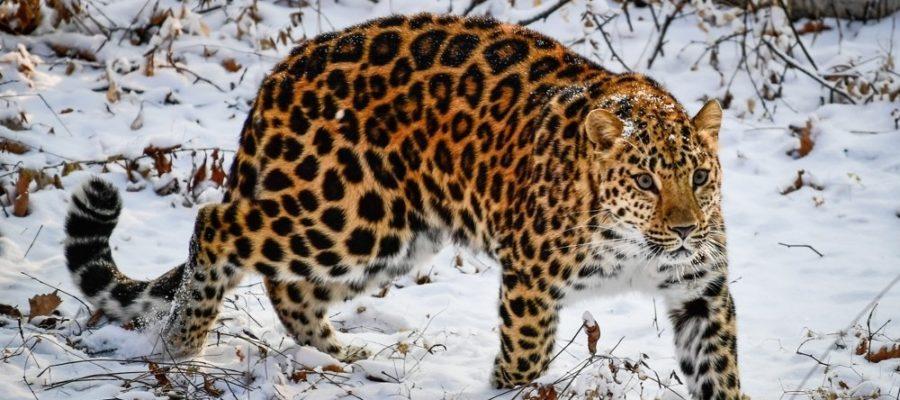 Дальневосточный леопард в Кавалерово