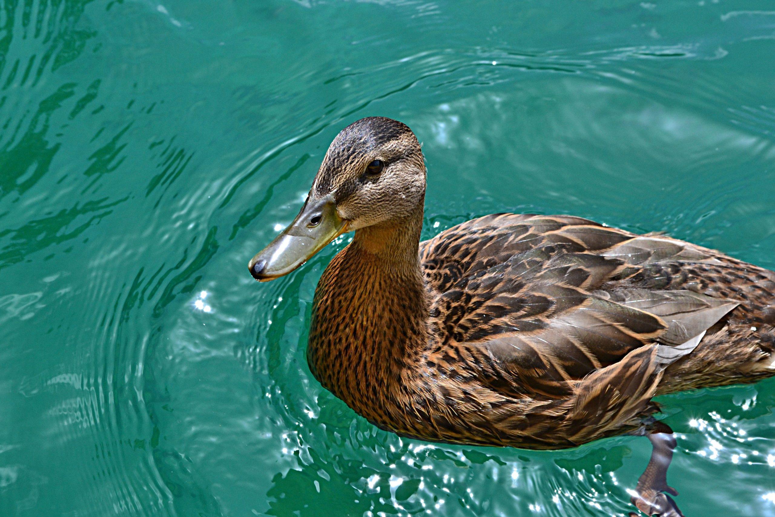У дикой водоплавающей птицы в Приморье выявлен микоплазмоз