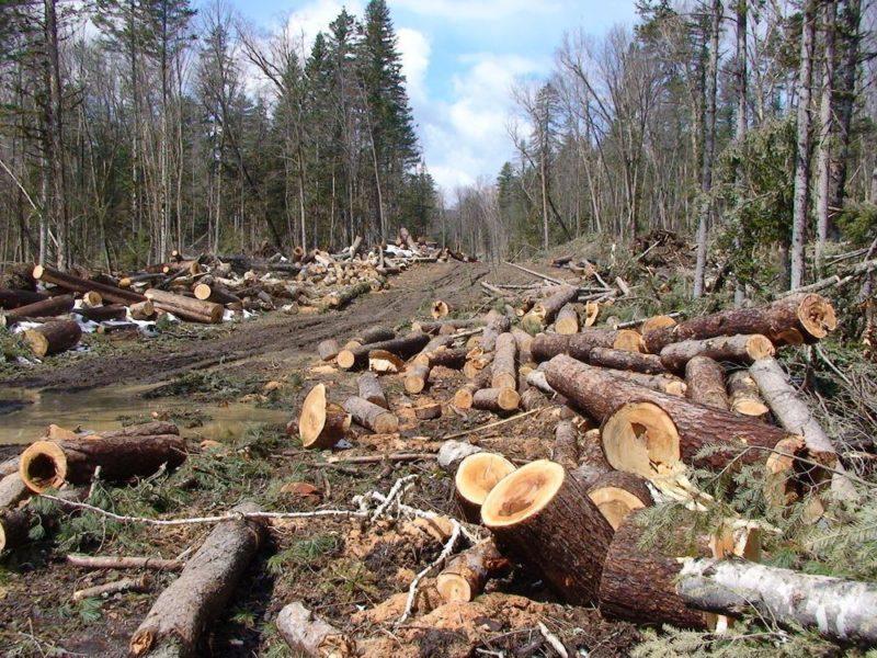 Возбуждено уголовное дело по факту рубки леса в Кавалерово