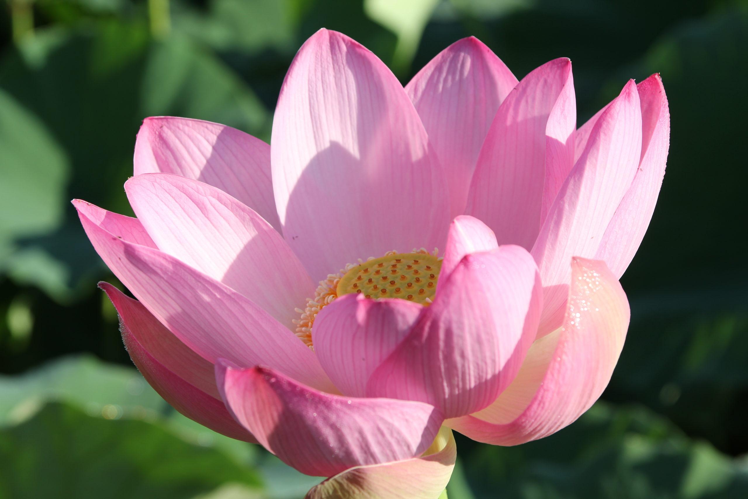 Лотосы цветут в Приморье